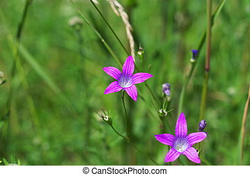 Campanula   - photo of the Campanula