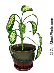 dieffenbachia, picture saved with clipping path