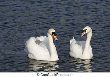 mute swans on Sandhill lake, Worksop Cygnus olor