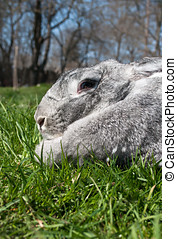 big and gray rabbit on green grass