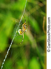 spider - Macro of argiope spider on its web...