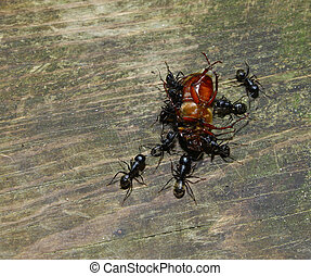 A bunch of large Black ants feast on a dead Beetle with room...