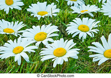 White daisies - Many large white daisies on the green grass,...