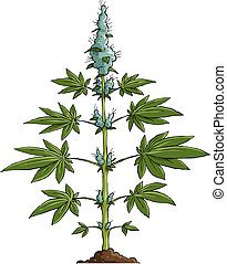 Cannabis on a white background, vector illustration