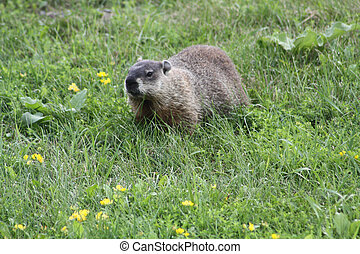 Groundhog (Woodchuck) - On the grass near its burrow. The...