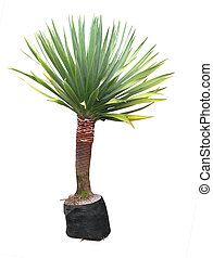Yucca Plant - Small Yucca isolated with clipping path