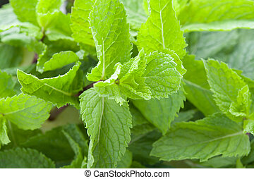 Fresh mint leaves - A lot of fresh mint leaves, close-up