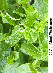 Fresh mint leaves - A lot of fresh mint leaves, close-up