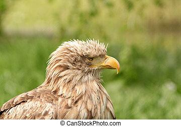 eagle portrait haliaeetus albicilla
