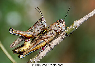 Grasshoppers couple in private moment close up