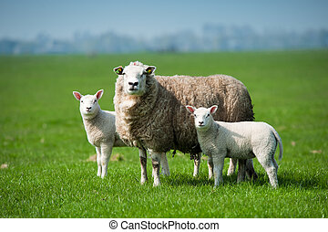 Mother sheep and her lambs in spring