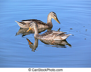 水, 二, 鴨子