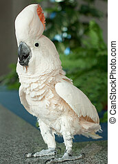 Parrot - Photo of white beautiful parrot with orange tuft,...