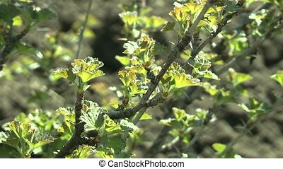 bush - gooseberry bushes in the spring