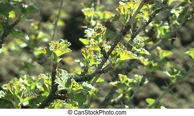bush - gooseberry bushes in the spring.