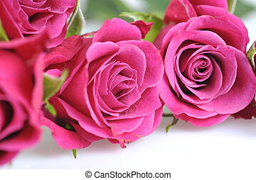 rose, macro