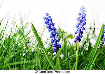 hyacinth flower - Growing hyacinth flower in  green grass