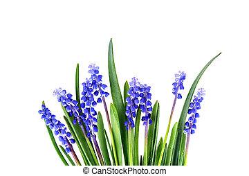 blue hyacinths blooming in spring