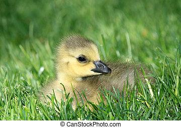Duckling - Granville Island, Vancouver, Canada - Duckling -...