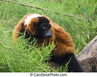 A Red Ruffed Lemur, Varecia Rubra climbing in a conifer