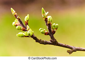 Cherry flowers and buds, macro - Macro of a branch of a...
