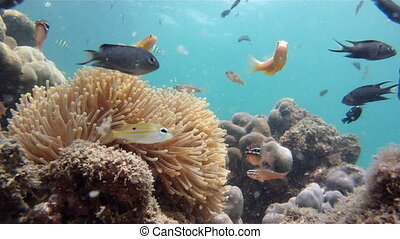 sea anemone and tropical fishes