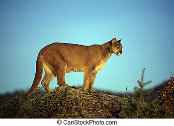 Adult mountain lion perched on a ridge alone.