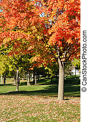Colorful Red Leaves on Maple Tree in the Fall on a Golf...