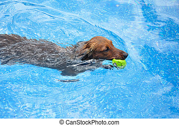 Red Long-Haired Dachshund Swimming with a Toy - Red...