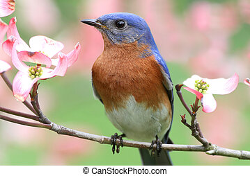 Eastern Bluebird - Male Eastern Bluebird Sialia sialis in a...