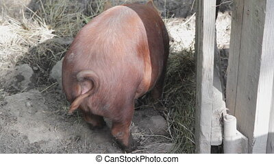 Pig rear end. - The hind side of a big brown pig.