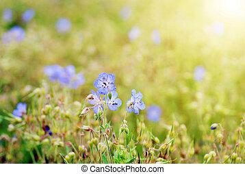 cornflowers -  lot of cornflowers on  green field