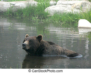 Grizzly Bear Habitat - Grouse Mountain, Vancouver, BC,...