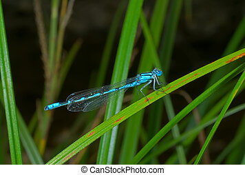 Small dragonfly 7 - A close up of the small blue dragonfly...