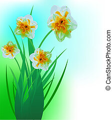 Spring narcissuses on a lawn, a flower background
