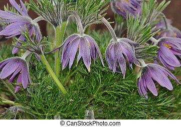 Pasque flowers - Pasque Flowers