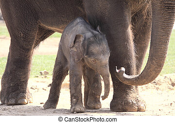 Unsteady Legs - New born elephant using his mother for...