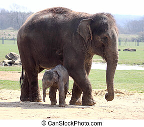 New Arrival - New born elephant making his public debut at...