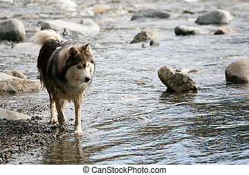 Husky Dog in River Gorge at Lynn Canyon, Vancouver, Canada