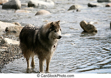 Husky Dog in River Gorge at Lynn Canyon, Vancouver, Canada -...