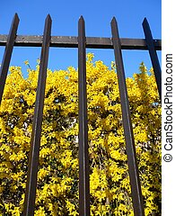 Forsythia behind the fence