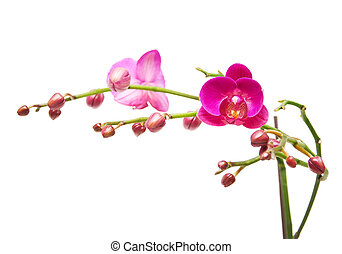 Orchid. The branch of orchids with flower buds and flowers.