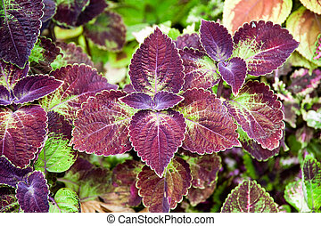 Coleus Solenostemon scutellarioides in Grand Cayman Botanic...