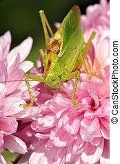 grasshopper on the flower - grasshopper on the pink flower