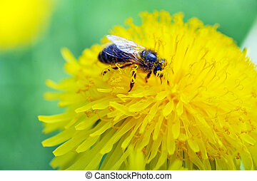 Bee on dandelion - Bee pollinating and feeding on  dandelion