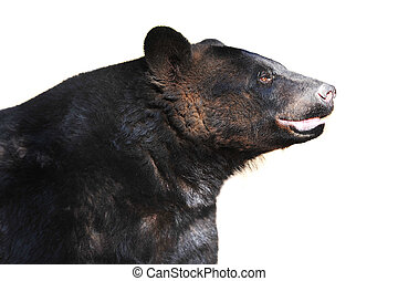black bear at zoo summer season