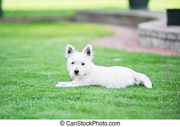 white dog - small white dog lies on green lawn