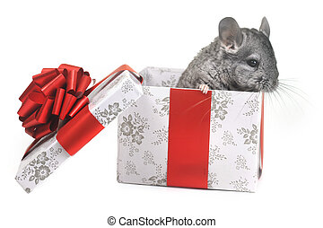 Grey nice chinchilla on  white background