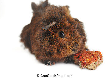brown guinea pig on white background