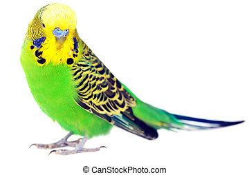 portrait of budgerigar - close-up portrait of budgerigar on...